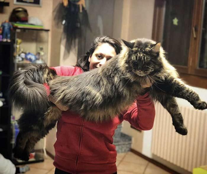 Cuál Es El Gato Más Grande Del Mundo Wow Mascota